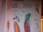 Muscles of the anterior thigh (courtesy of my anatomy coloring book): Sartorius, Rectus Femoris, Vastus Lateralis, Vastus Medialis, Vastus Intermedius and Iliopsoas. I broke them all. :-/